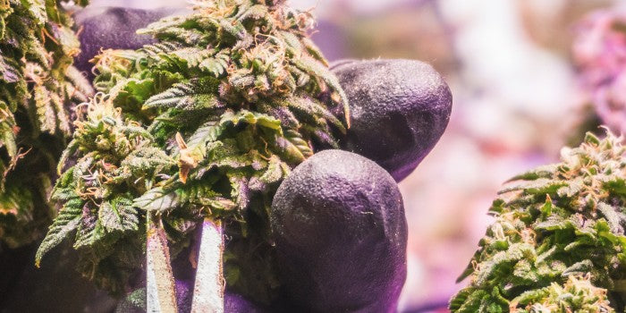 Topping Cannabis Plants: Why, When & How