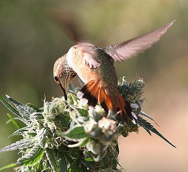 Birds on Marijuana Plants