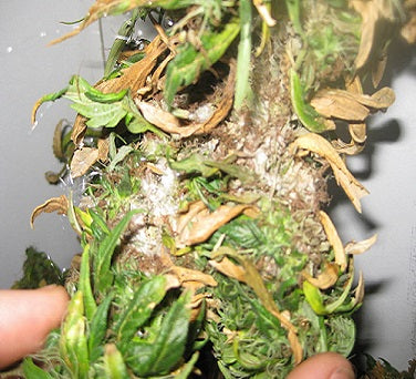 Bud rot on Marijuana