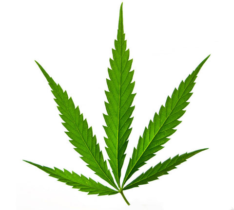 Cannabis Sativa Leaf