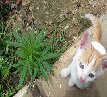 Cats and Dogs on Marijuana Plants