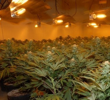 Dark Cycle Interruptions Marijuana Plants