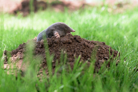 Gophers and Moles on Marijuana Plants