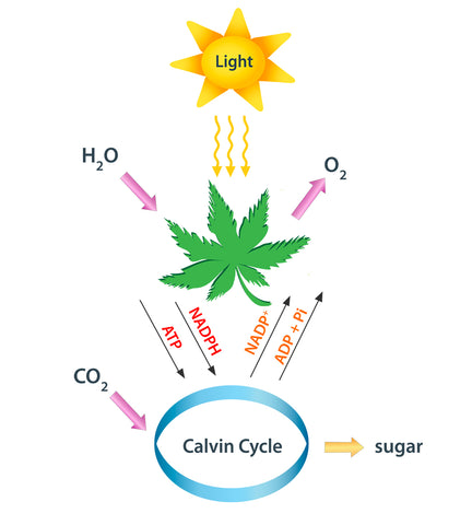 How light is used Photosynthesis