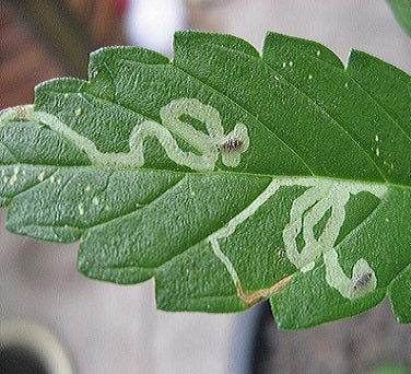 Leaf Miners on Marijuana Plants