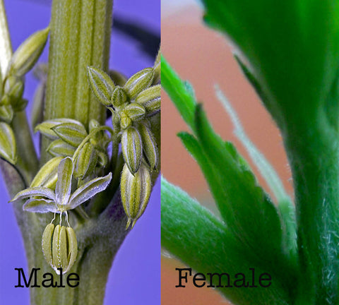 Male and Female marijuana seeds