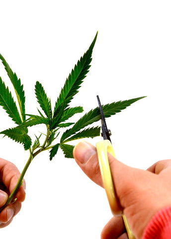Marijuana cutting leaves