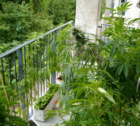 Marijuana in Balcony
