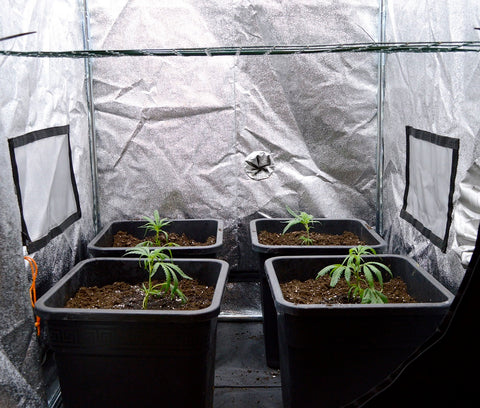 Marijuana let plants grow