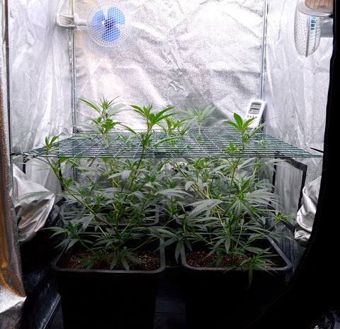Marijuana let plants grow through the screen