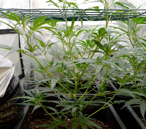 Marijuana plant grows through screen