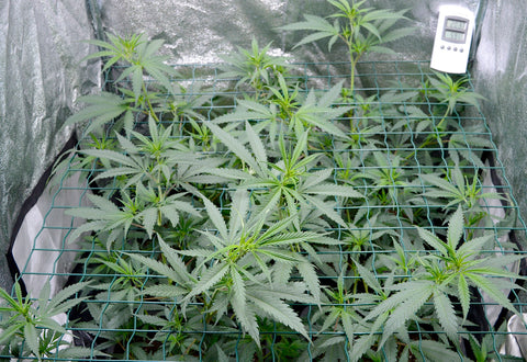 Marijuana plant how to grow