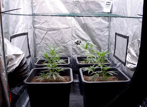 Marijuana plants scrog side 15 days