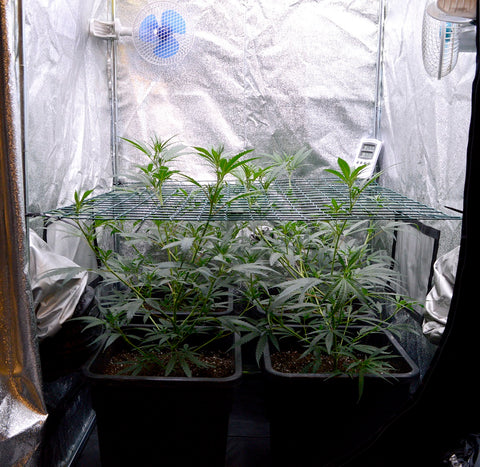 Marijuana plants scrog side 26 days