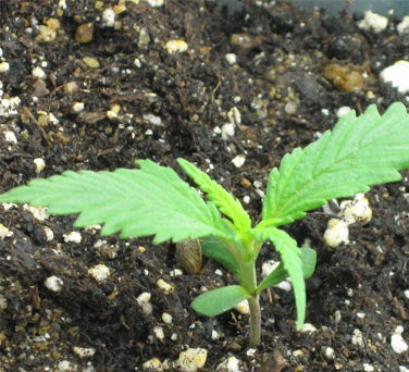 Overwatering and Underwatering Cannabis Plants