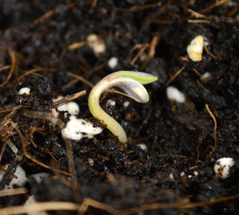 Soil germination sprout seedling