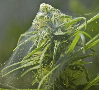 Spider Mites on Marijuana Plants