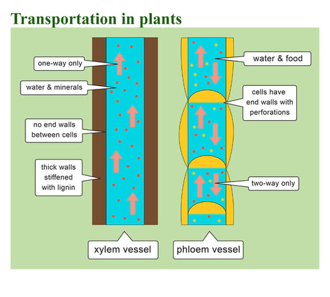 Transportation in the plant