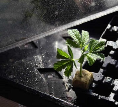Cannabis Clones wont Root