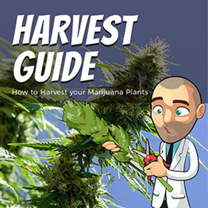marijuana harvest guide
