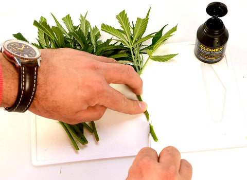Preparing marijuana cutting stem