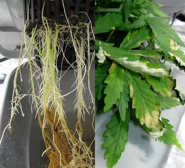 Root rot on Marijuana
