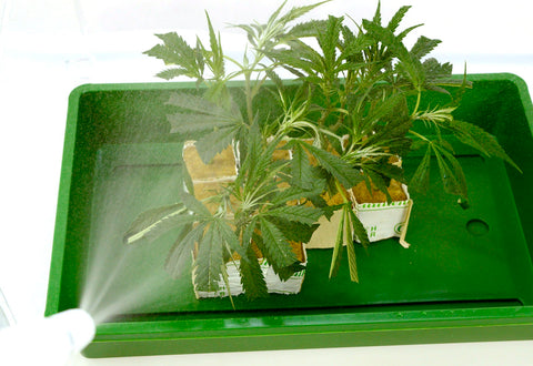 Spray marijuana on rockwool cubes