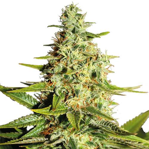 afghani cannabis seeds