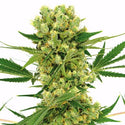 Amnesia Haze Feminized Seeds