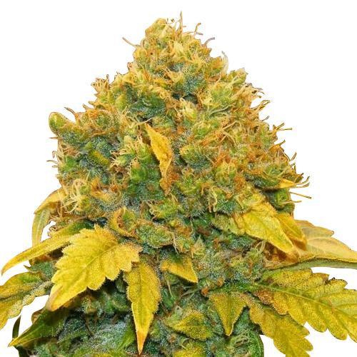 Banana Kush Feminized Seeds
