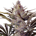 Black Widow Feminized Seeds