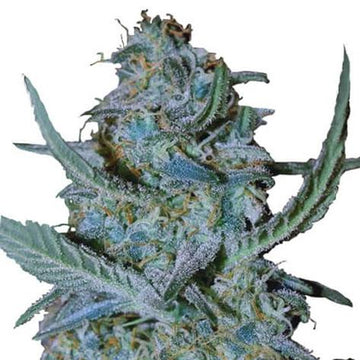 blue cheese weed