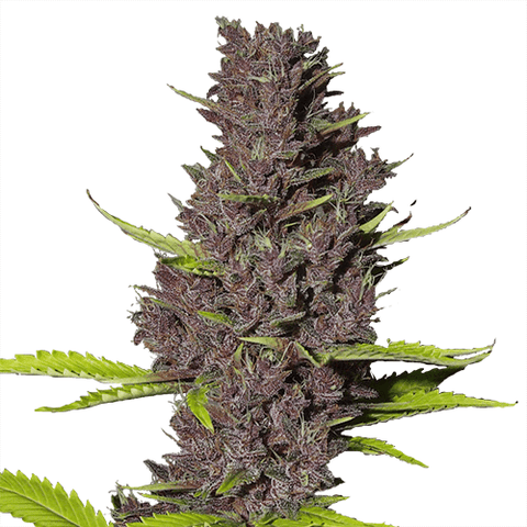 Buy Blue Dream Seeds - Guaranteed Delivery USA & AUS | ILGM