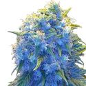 Blue haze Feminized Seeds