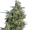 Bubba Kush Feminized Seeds