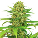 Bubble Gum Feminized Seeds