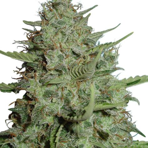 California Dream Feminized Seeds