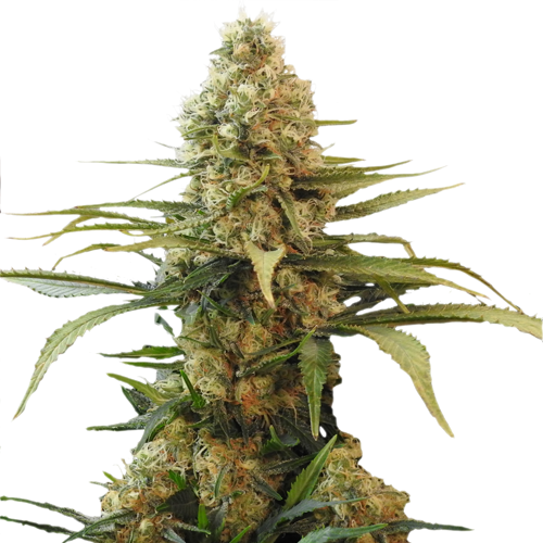 Chronic Widow (fem)