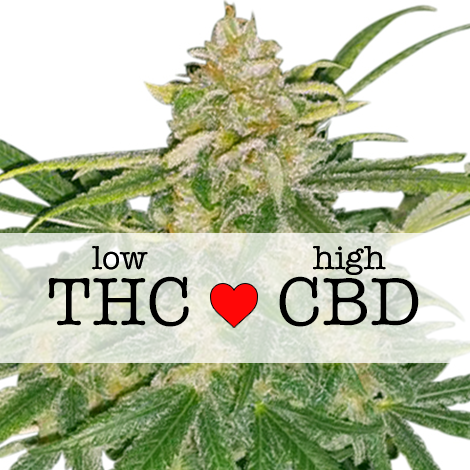 critical mass cbd marijuana seeds