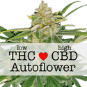 high CBD marijuana seeds