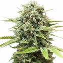 Fire OG Feminized Seeds