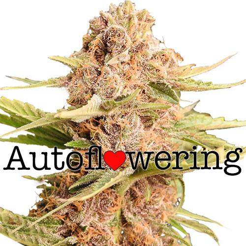 Buy Girl Scout Cookies Strain - Autoflower Weed Seeds | ILGM
