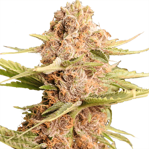 Girl Scout Cookies Extreme (fem)