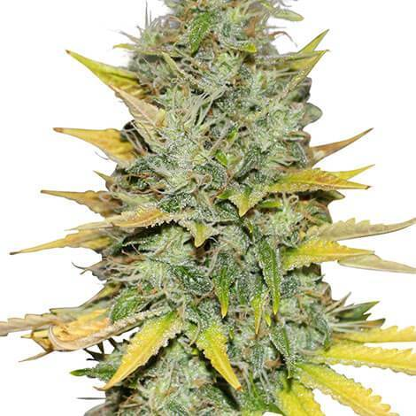 Gold Leaf Feminized Seeds