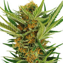 Jack Herer Autoflower Seeds