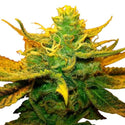 Mango Kush Feminized Seeds