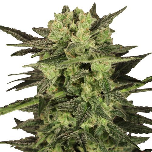 MK Ultra  Feminized Seeds