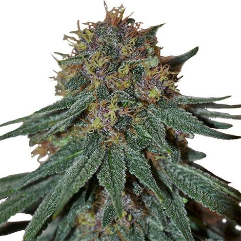 Purple Haze Feminized Seeds