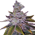 Purple Kush  Feminized Seeds