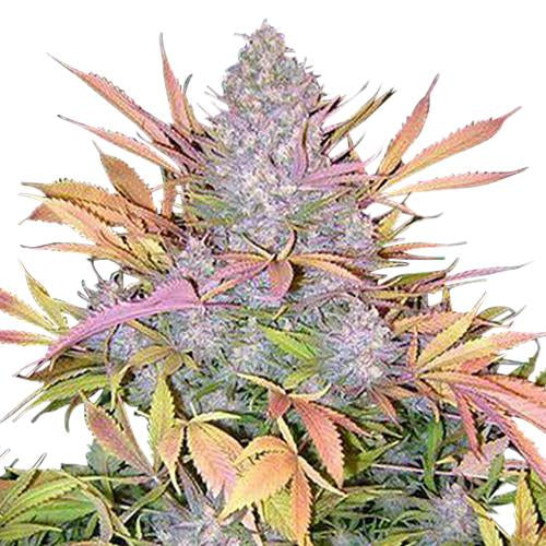 Strawberry Cough Feminized Seeds
